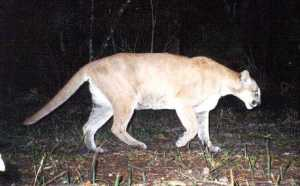 Panther_cropped